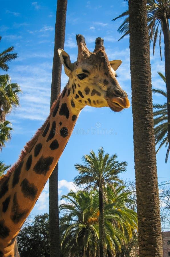 Zamyka w górę wizerunku żyrafa, Grecja fotografia royalty free