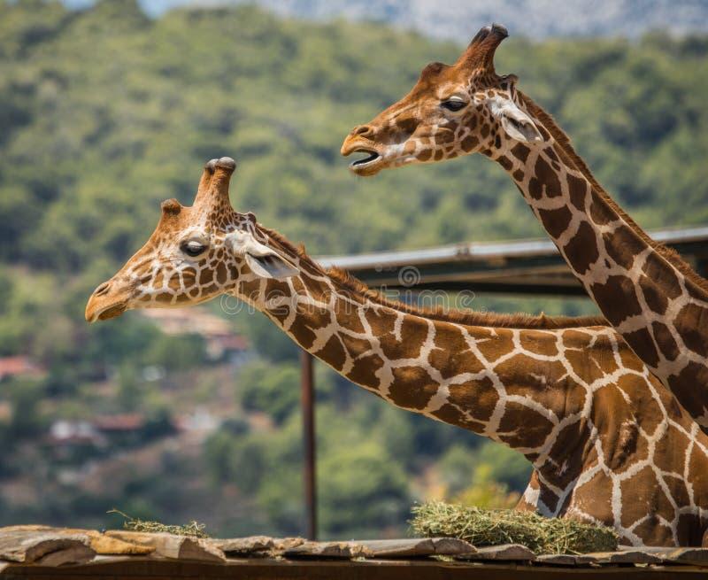 Zamyka w górę wizerunku żyrafa, Grecja zdjęcie stock