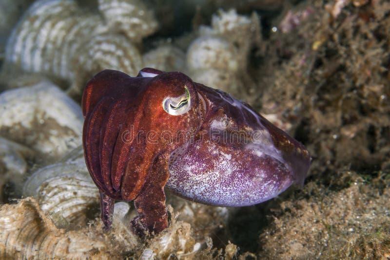 Zamyka w górę wizerunku cuttlefish z rafy koralowa tłem obrazy royalty free