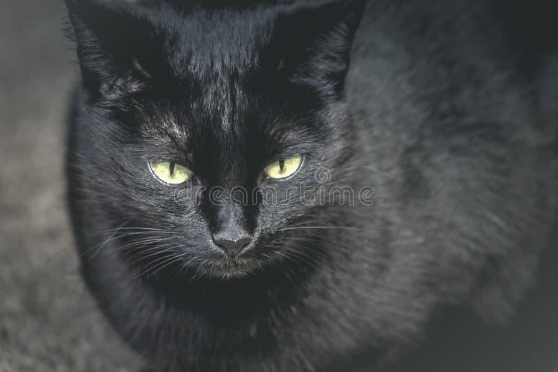 Zamyka w górę wizerunku Domowy Czarnego kota obsiadanie obrazy stock
