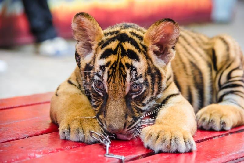 Zamyka w górę wizerunku Tygrysi lisiątka fotografia royalty free