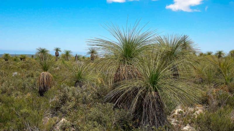 Zamyka w górę xanthorrhoeam, powszechnie znać jako traw drzewa, r na zachodnim australijczyka wybrzeżu zdjęcie royalty free