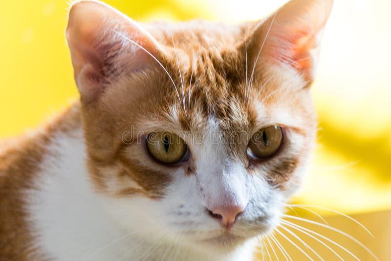 Zamyka W górę zieleń Przyglądającego się kota fotografia stock