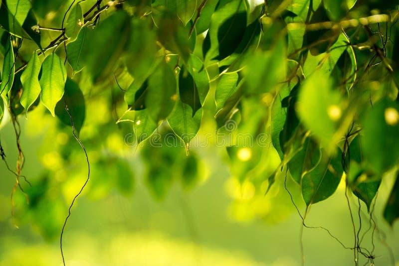 Zamyka w górę zielonego Benjamin ` s figi liścia natury abstrakta tła obrazy stock
