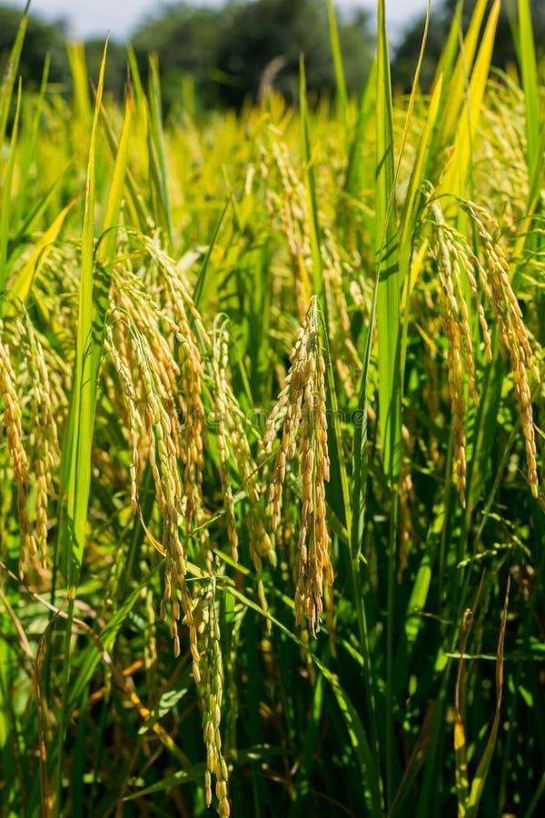 Zamyka w górę Zielonej ryżowej rośliny Która opuszcza adra W hodowlanej fabule zdjęcia stock