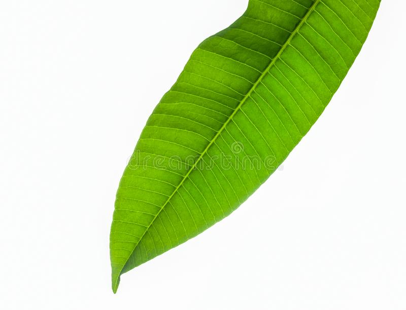 Zamyka w górę zielonych liści na białym tle fotografia royalty free