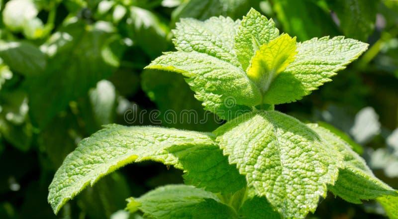 Zamyka w górę zielonych miętowych liści obrazy stock