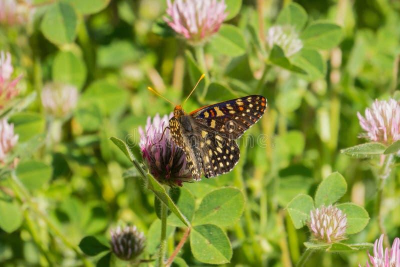 Zamyka w górę zmiennego checkerspot motyla pije nektar od róży koniczynowego wildflower, Napy dolina, Kalifornia zdjęcia royalty free