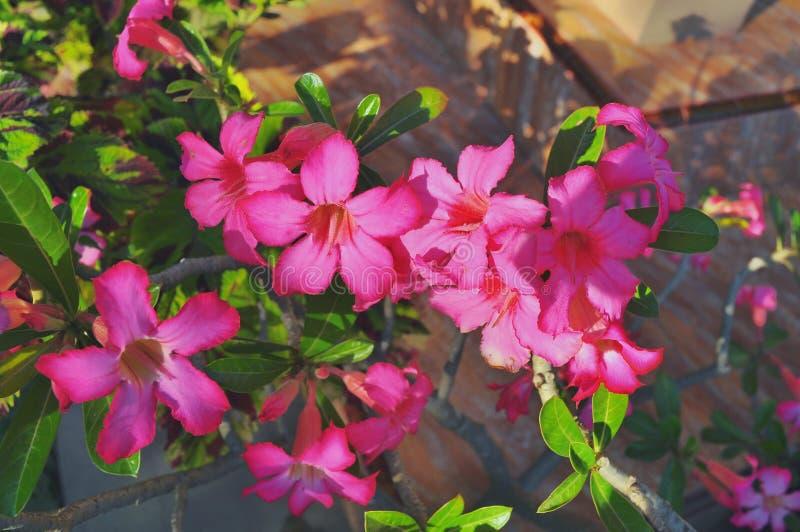 Zamyka w g?r? Adenium kwiat?w w naturze zdjęcie royalty free