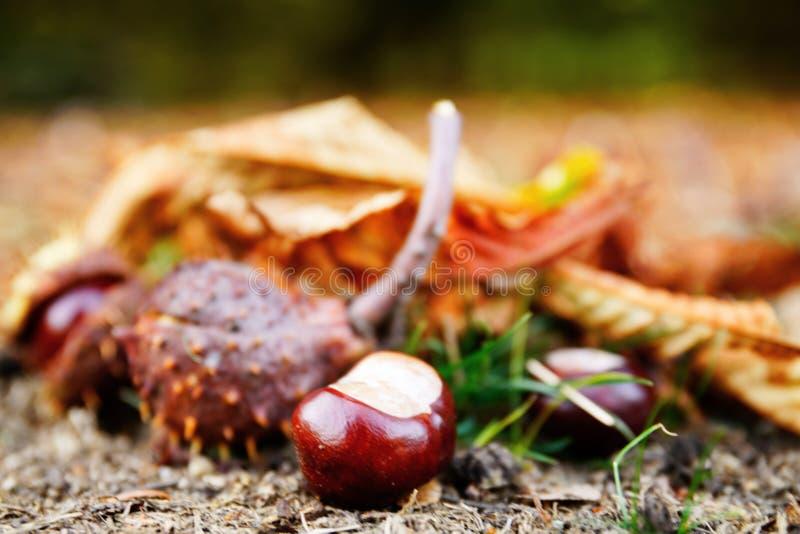 Zamyka w g?r? chesnuts wewn?trz outdoors zdjęcie stock