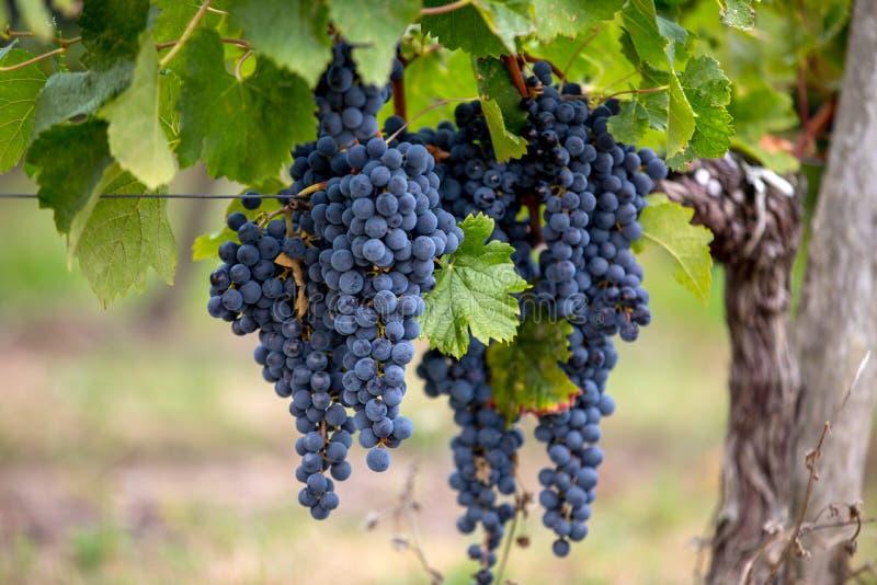 Zamyka w g?r? czerwonych merlot winogron w winnicy St Emilion, Gironde, Aquitaine obrazy stock
