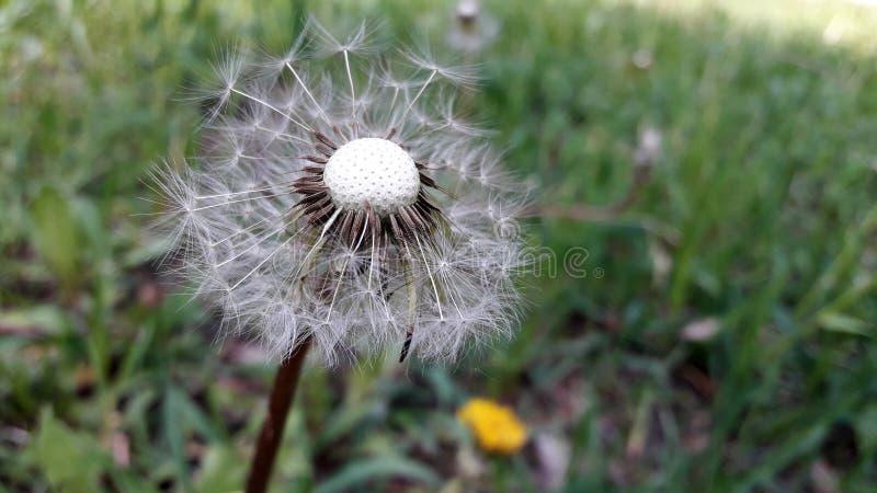 Zamyka w g?r? dandelion kwiatu suchego dandelion obraz stock
