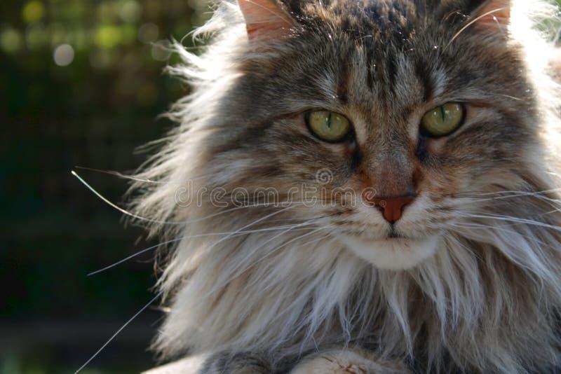 Zamyka w g?r? Maine coon kota odpoczywa? fotografia stock