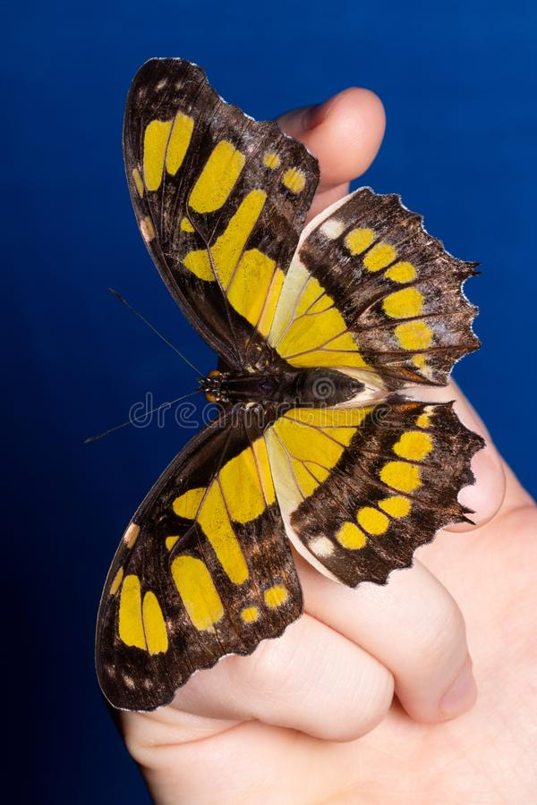 Zamyka w g?r? motyla na kobiety r?ce Pi?kno natura fotografia stock