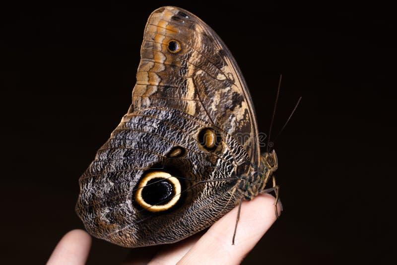 Zamyka w g?r? motyla na kobiety r?ce Pi?kno natura zdjęcie stock