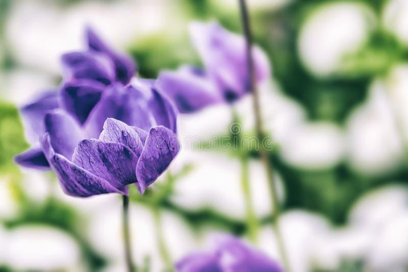 Zamyka w g?r? rocznik fotografii R??owy fio?kowy tulipan, makro- strza? p?czek w ogr?dzie Ja jest pi?knym natury t?em z kwiatem i zdjęcia stock