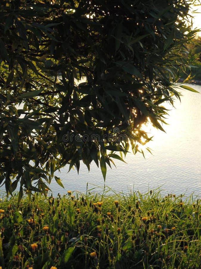 Zamykający dandelion kwitnie pod wierzbowym krzakiem przeciw jezioru obraz stock