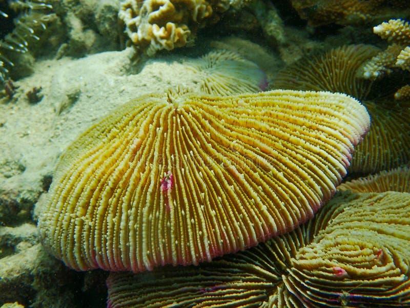 Zamykający do polipa pieczarkowego korala, Fungia fotografia stock