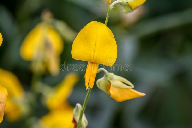 Zamykający w górę CROTALARIA JUNCEA lub SunHemp, kolorów żółtych kwiaty zdjęcie stock