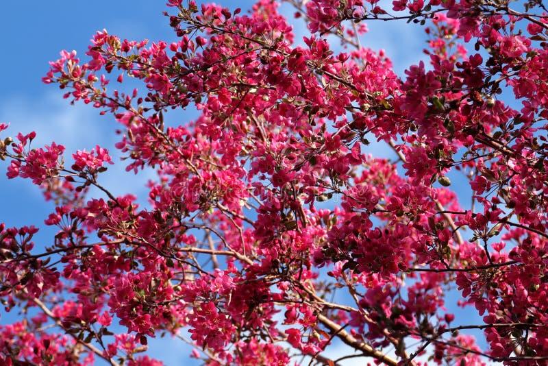 Zamykający w górę czereśniowego okwitnięcia Sakura na niebieskiego nieba tle obrazy stock