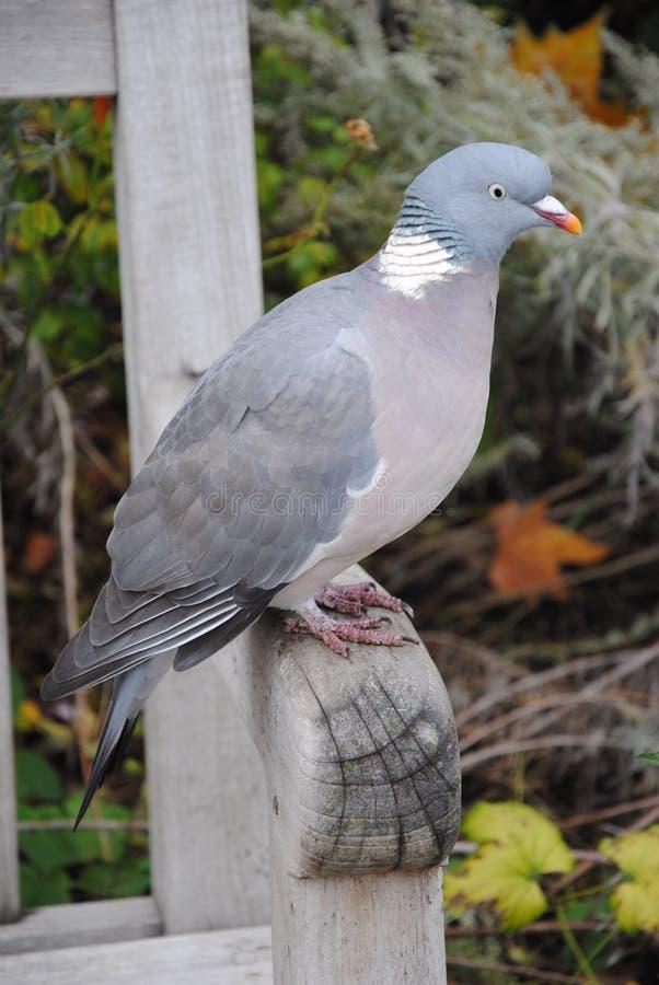 Zamykający w górę gołębiego ptaka w Hyde parku, Londyn obrazy stock