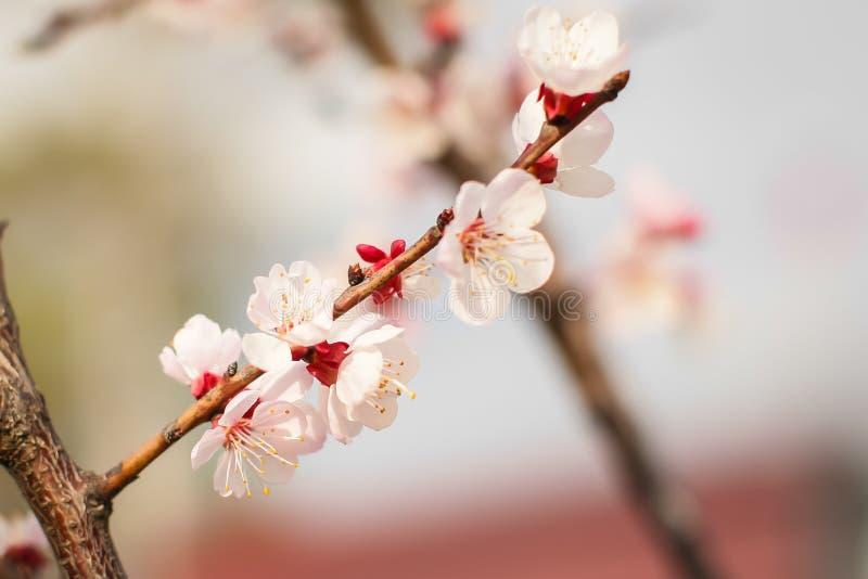 Zamykanie nowych, świeżych kwiatów moreli wiosną w Orchard w selektywnym skupieniu zdjęcie royalty free