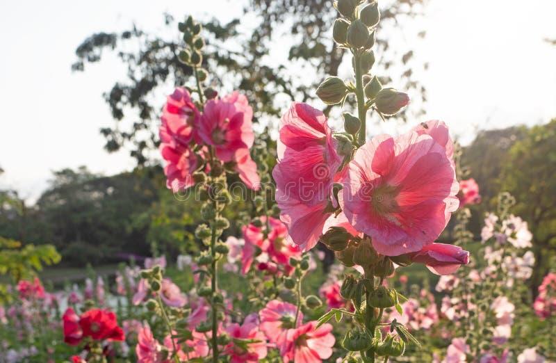 Zamykanie Pink Hollyhock Flowers with Sunlight zdjęcia royalty free