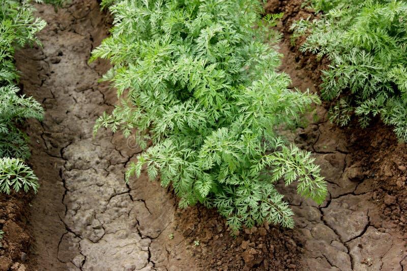 Zanahoria de Pusa Payasa fotografía de archivo