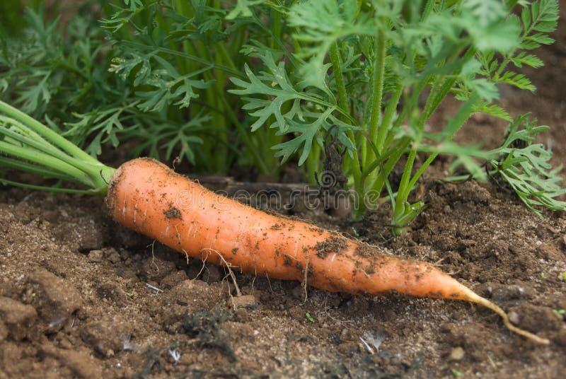 Zanahoria y plantas imágenes de archivo libres de regalías