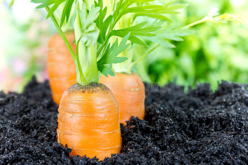 Download Zanahorias foto de archivo. Imagen de anaranjado, dieta - 41907270