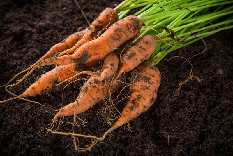 Zanahorias en el jardín foto de archivo