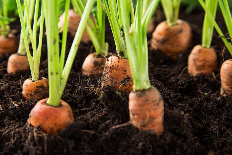 Zanahorias en el jardín fotografía de archivo