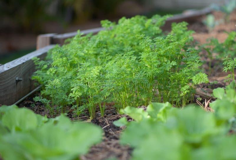 Zanahorias en el jardín vegetal foto de archivo libre de regalías