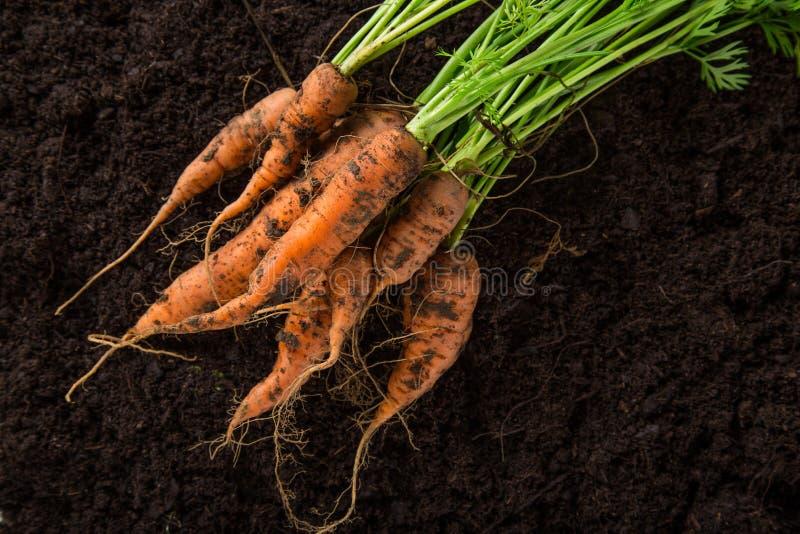 Zanahorias en la tierra imagen de archivo libre de regalías