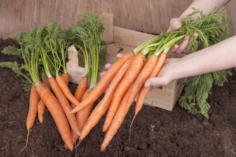 Zanahorias escogidas frescas fotos de archivo