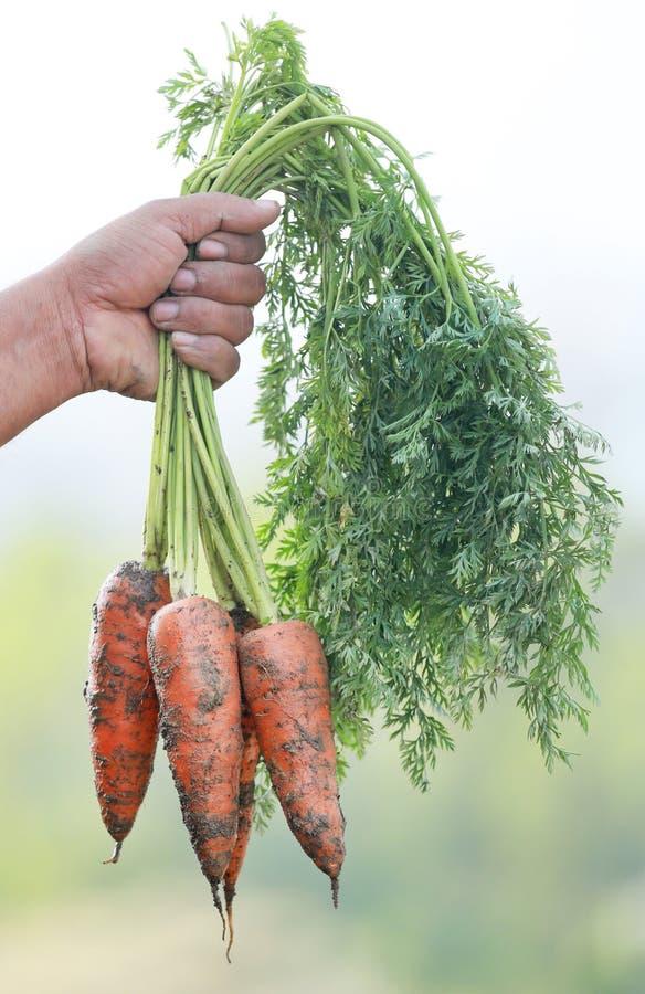 Zanahorias orgánicas fotografía de archivo libre de regalías