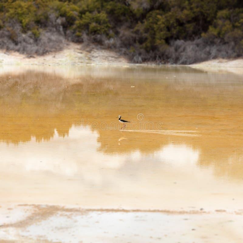 Zanco de varios colores en la situación de Nueva Zelanda en agua foto de archivo libre de regalías