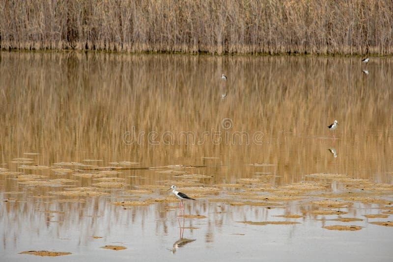 zanco Negro-con alas en Al Wathba Wetland Reserve Abu Dhabi, UAE foto de archivo