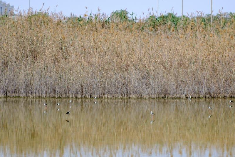 zanco Negro-con alas en Al Wathba Wetland Reserve Abu Dhabi, UAE fotos de archivo libres de regalías