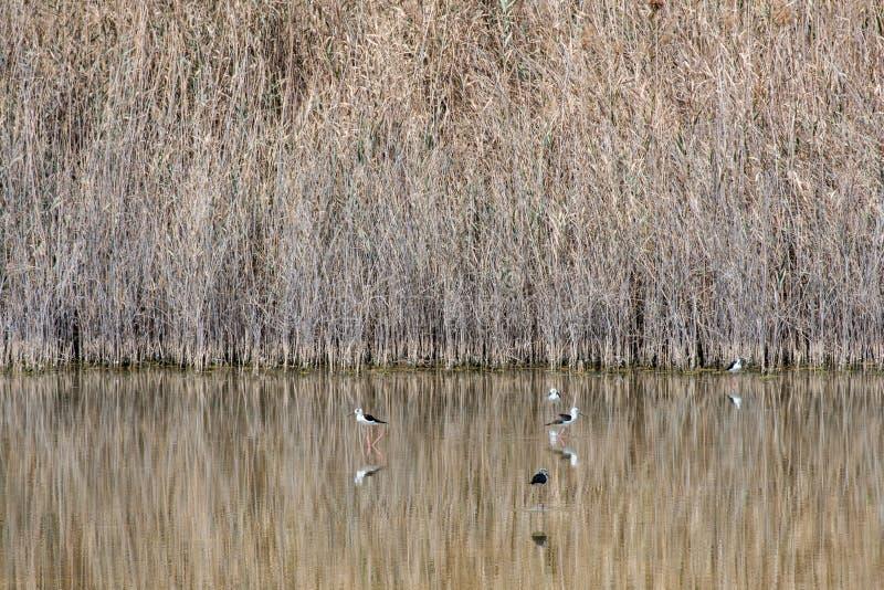 zanco Negro-con alas en Al Wathba Wetland Reserve Abu Dhabi, UAE imagen de archivo