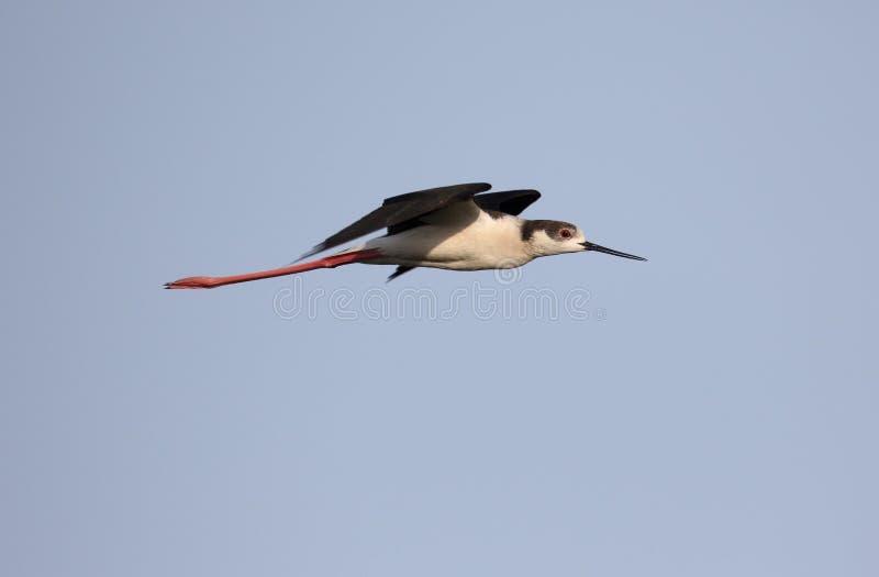 zanco Negro-con alas, himantopus del himantopus fotos de archivo