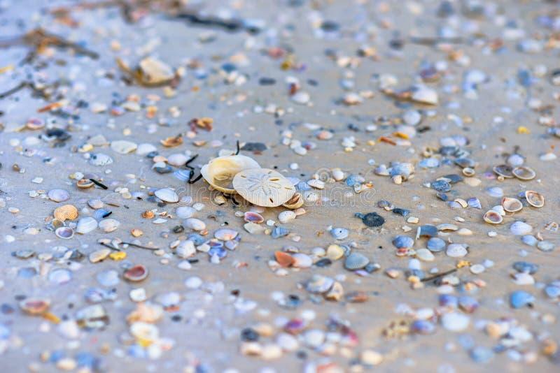 Zanddollar op het strand van Mexico royalty-vrije stock afbeeldingen