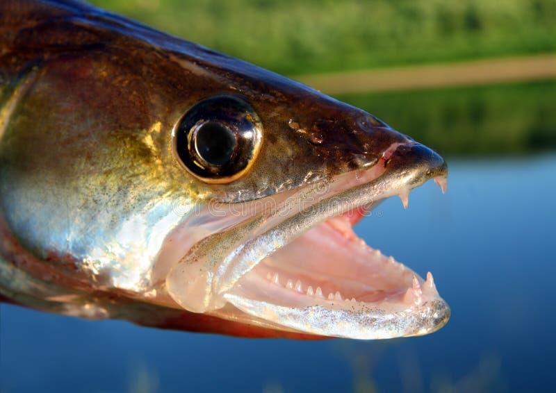 zander рыб головное стоковое изображение rf