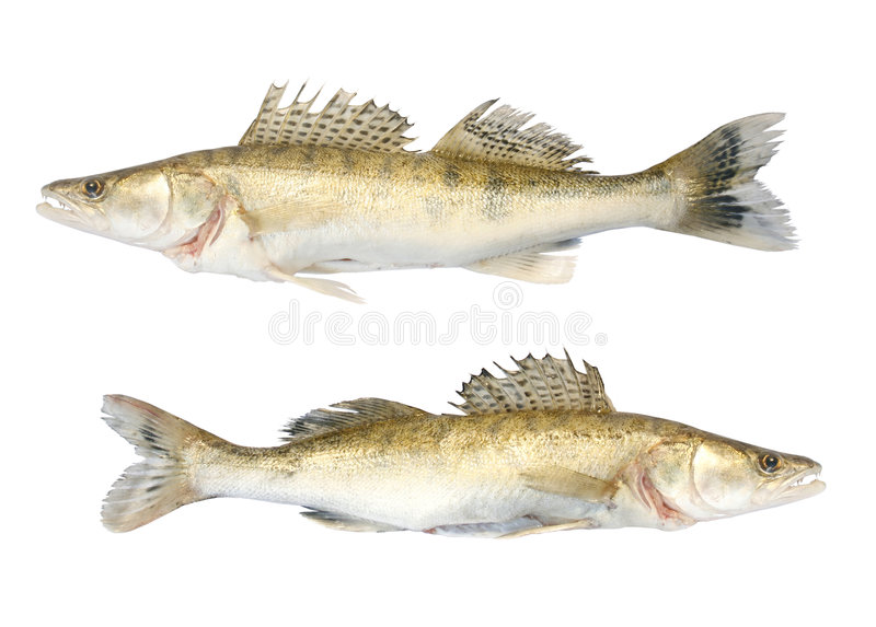 Zander duo. Fresh and dead zander on the white background stock images