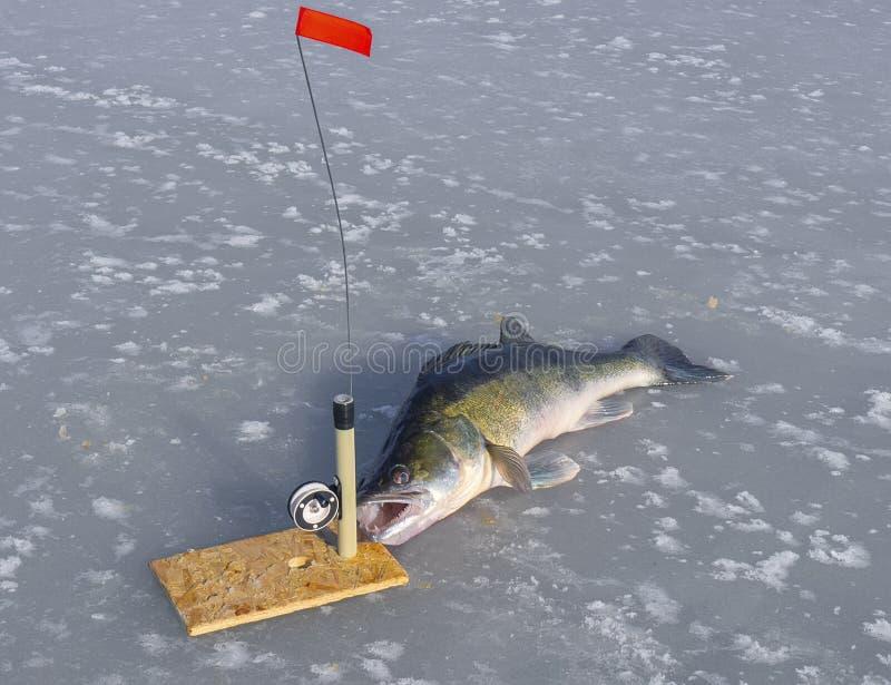 Zander ed attrezzatura enormi per la pesca sul ghiaccio immagine stock