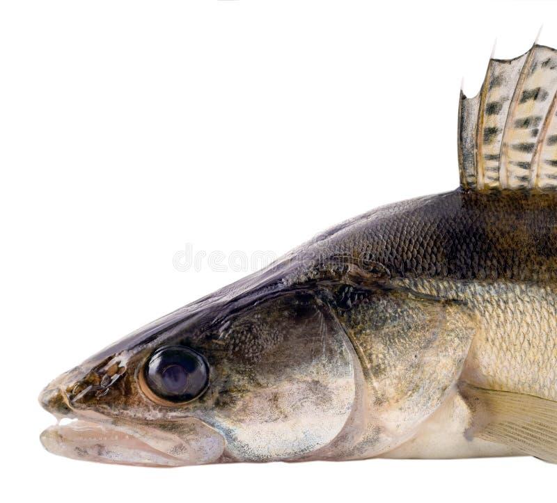 Zander Fish Scales and Fin stock image