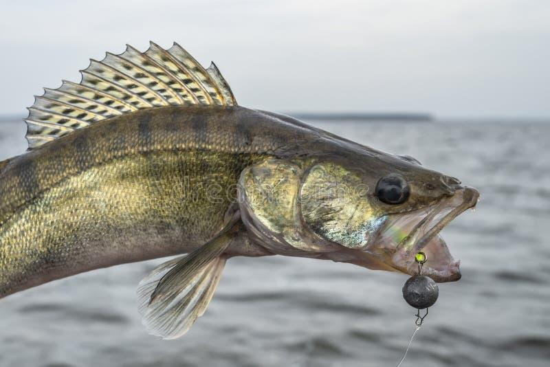 Zander fiske Fångade walleye fiskar trofén ovanför - vatten royaltyfria bilder