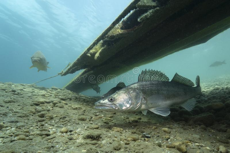 Zander Sander lucioperca under vatten arkivfoton