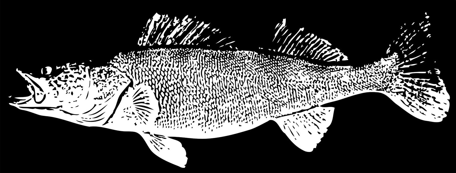 Zander Walleye fisk på svart bakgrund stock illustrationer