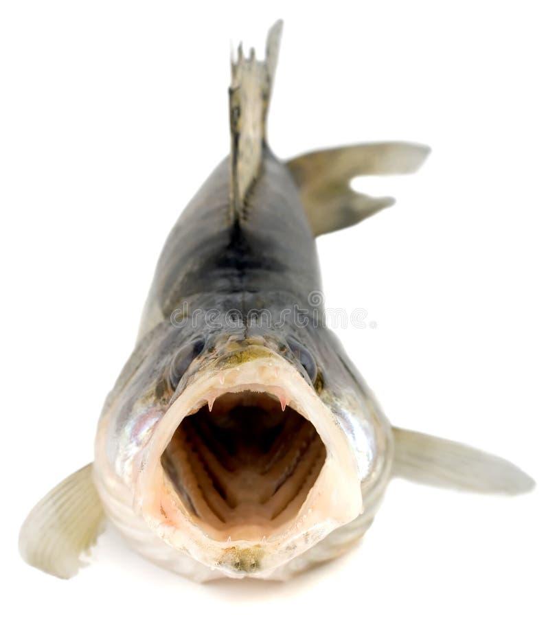 zander walleye pikeperch рыб стоковые изображения rf